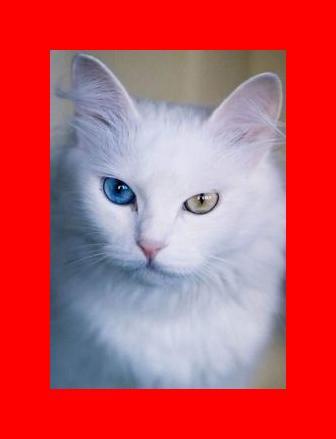 eyes of a turkish van cat. just amazing!   Animal Planet   Pinterest ...