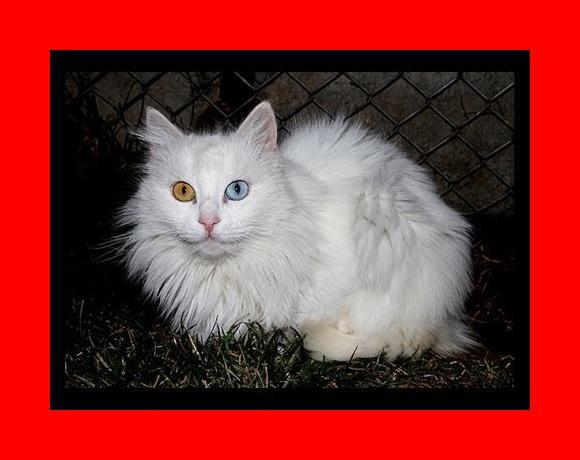 The Van Cat Documentary- Van Kedisi Belgesel (english) - YouTube