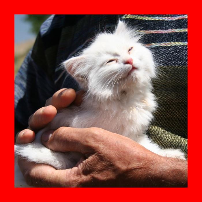 Van cat - Wikipedia