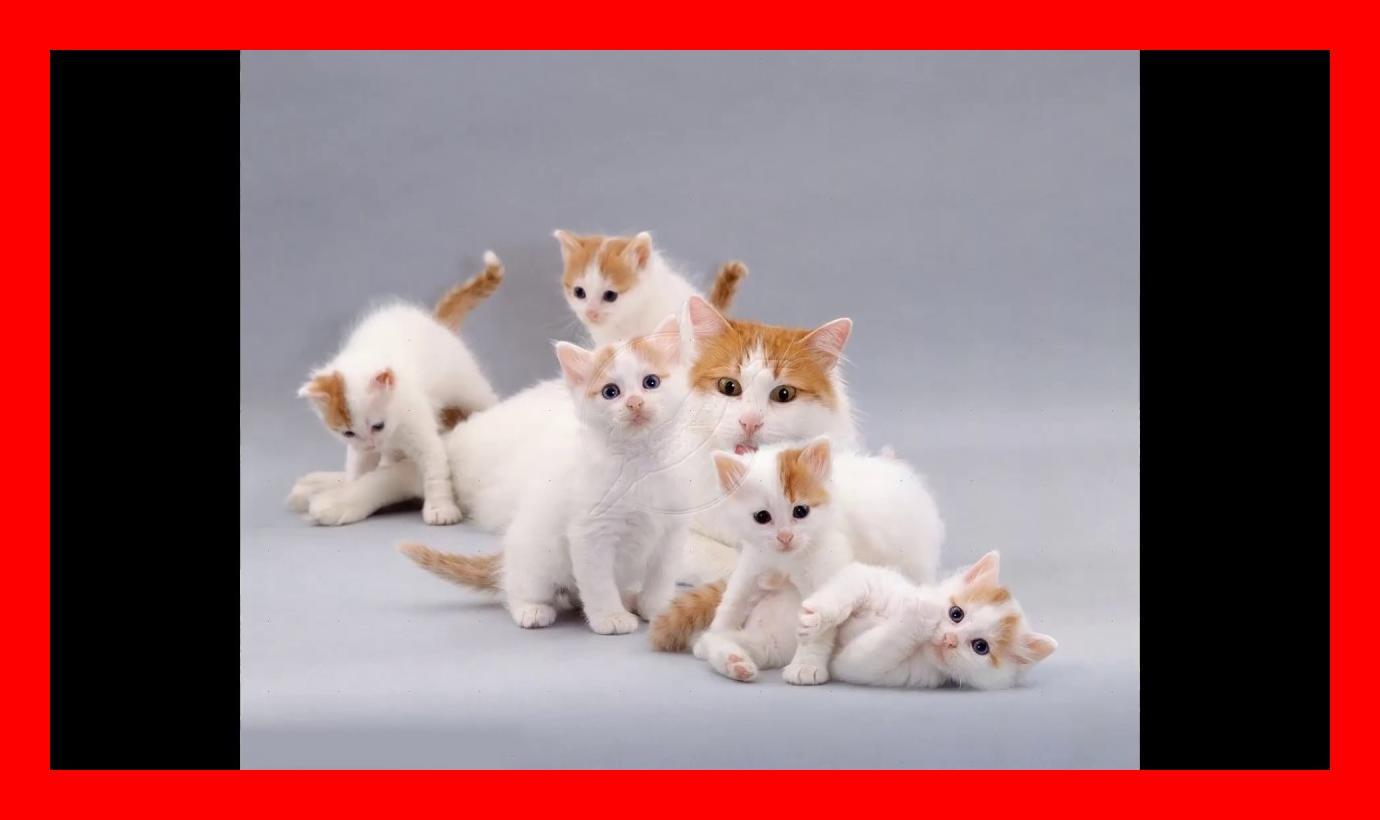 Turkish Van Cat and Kittens   History of the Turkish Van Cat Breed ...
