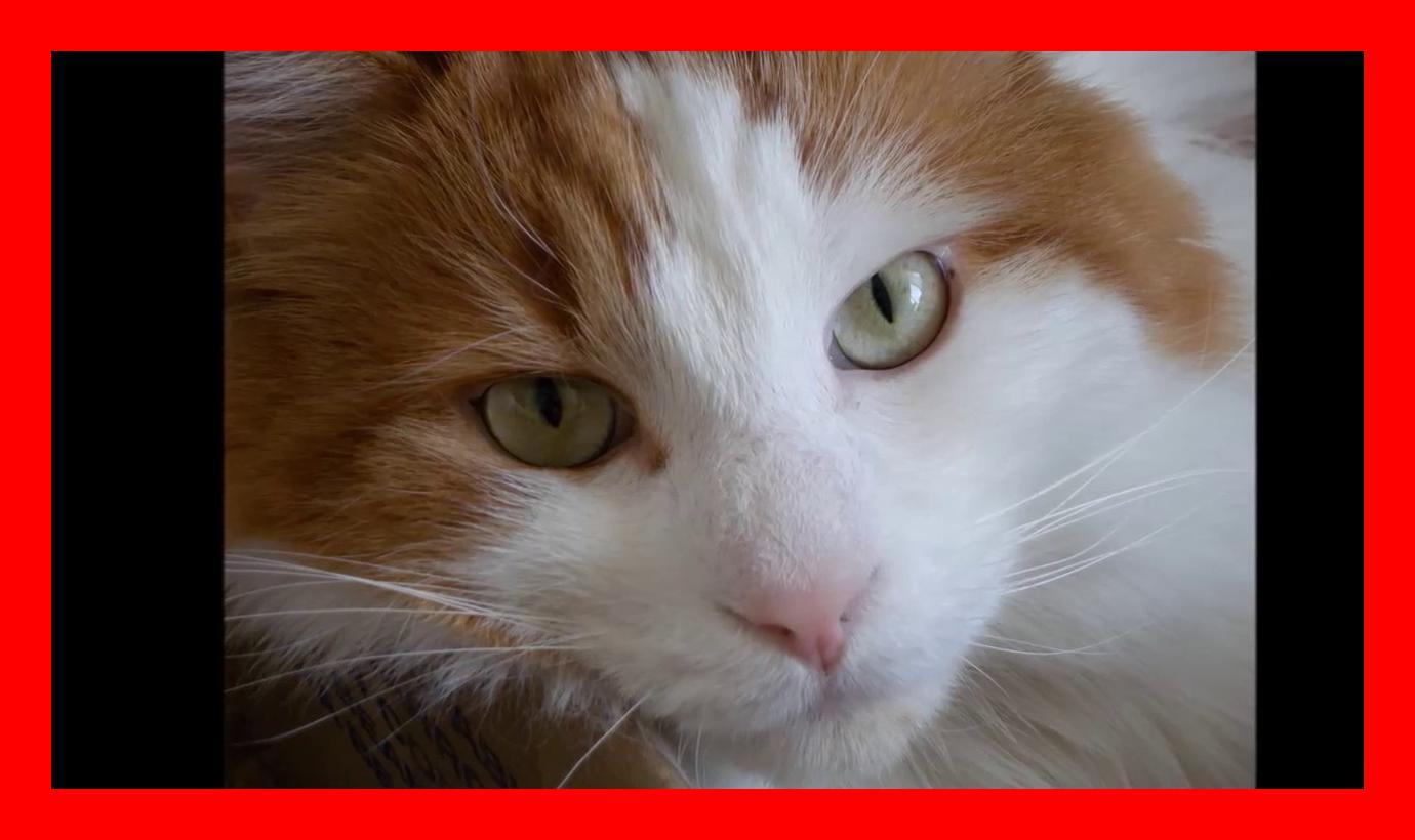 Turkish van cat History, Personality, Health, Care - YouTube