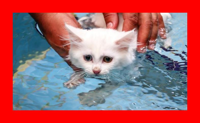 What\'s new, pussycat? It\'s time for your swim — Turkish Van cats get ...