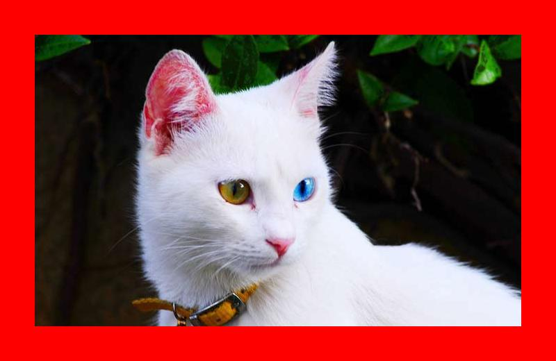 Turkish Van Cat Personality and Characteristics • OurFriends4Ever
