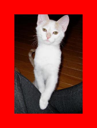 Turkish Van Cats   Turkish Van Cat Breed Info & Pictures   petMD