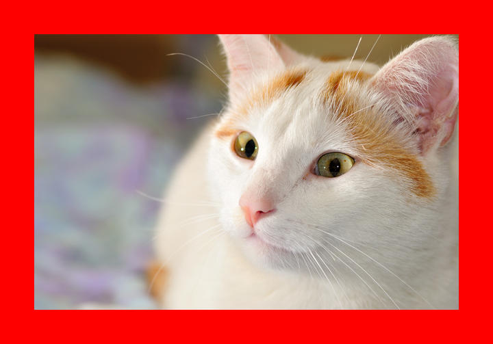 Turkish Van Personality, History, and Pictures   PawCulture