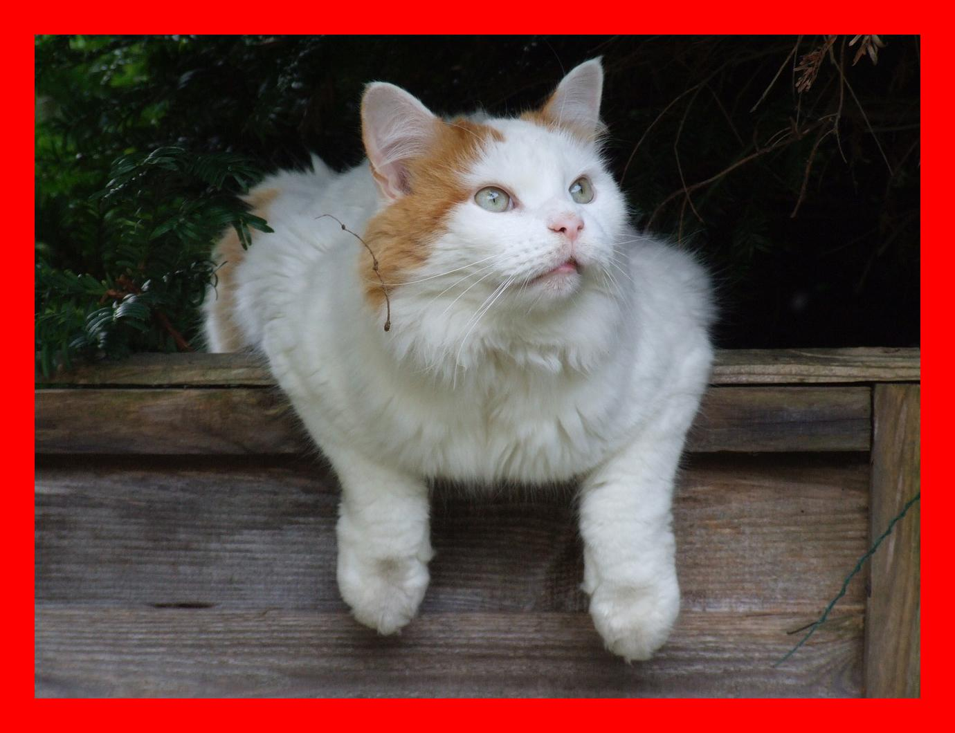 Personality and Traits of Turkish Van Cats – Swimming Cats