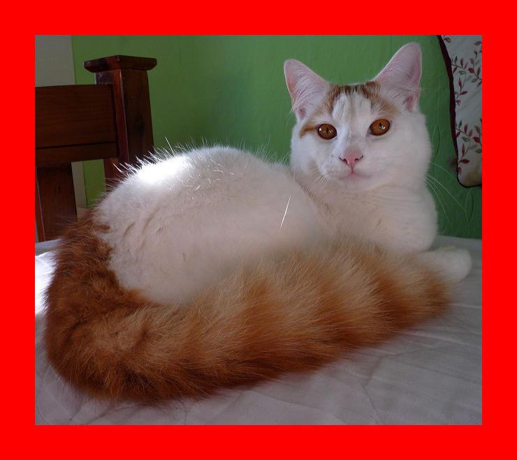 Turkish Van Cat Breed Information   Hill\'s Pet