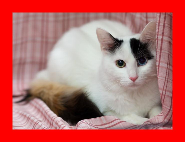 Turkish Van Cat Breed Profile   Metaphorical Platypus
