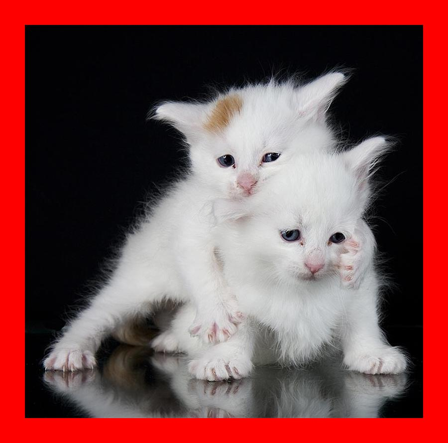 Turkish Van Cat - A Complete Guide To An Amazing Breed