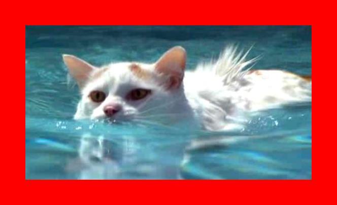 Turkish Van: Swimming Cats! Unusual Love for Water