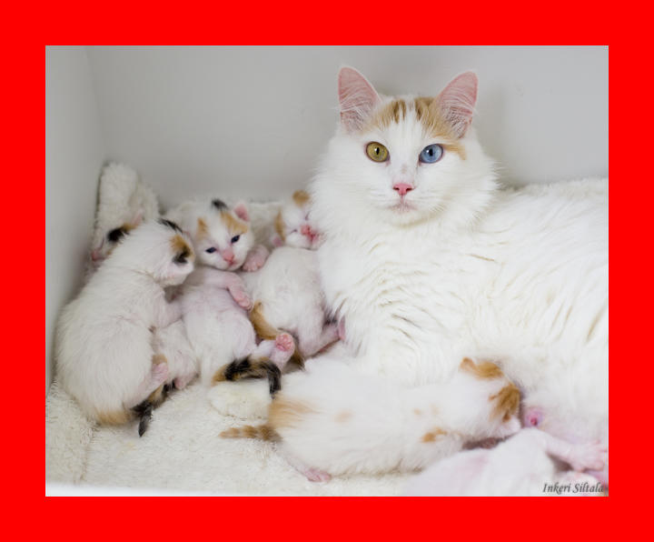 7 Facts About Turkish Van Cats   Mental Floss